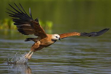 Black-collared Hawk (Busarellus nigricollis) fishing, Pantanal, Brazil  -  Suzi Eszterhas