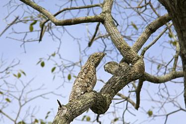 Great Potoo (Nyctibius grandis) camouflaged on branch, Pantanal, Brazil  -  Suzi Eszterhas