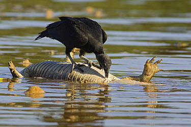 American Black Vulture (Coragyps atratus) foraging on caiman carcass floating in river, Cuiaba River, Pantanal, Brazil  -  Suzi Eszterhas