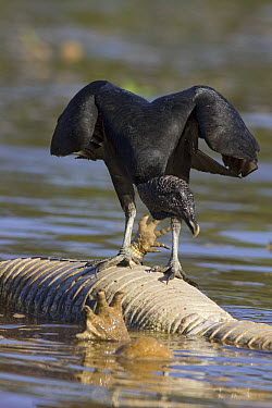 American Black Vulture (Coragyps atratus) on caiman carcass floating in river, Cuiaba River, Pantanal, Brazil  -  Suzi Eszterhas