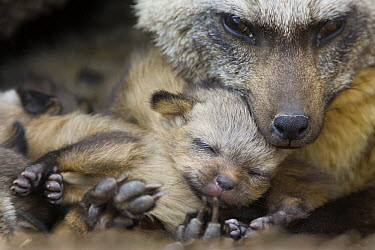 Bat-eared Fox (Otocyon megalotis) with thirteen day old pup, Masai Mara, Kenya  -  Suzi Eszterhas
