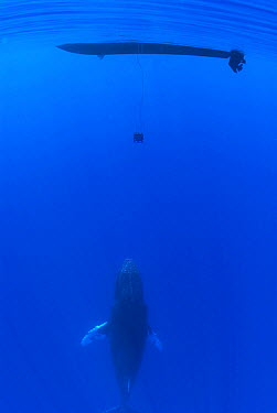 Humpback Whale (Megaptera novaeangliae) below hydrophone dangling from research boat, Maui, Hawaii - notice must accompany publication; photo obtained under NMFS permit 0753-1599  -  Flip  Nicklin