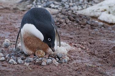 Adelie Penguin (Pygoscelis adeliae) incubating egg on rock nest, Antarctica  -  Tui De Roy