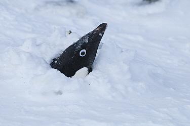Adelie Penguin (Pygoscelis adeliae) emerging from snow after storm, Antarctica  -  Tui De Roy