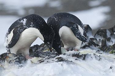 Adelie Penguin (Pygoscelis adeliae) parents looking after egg, Antarctica  -  Tui De Roy