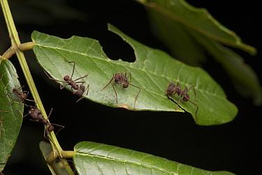 Leafcutter Ant (Atta laevigata) group cutting lead, Kavac, Venezuela  -  Ch'ien Lee