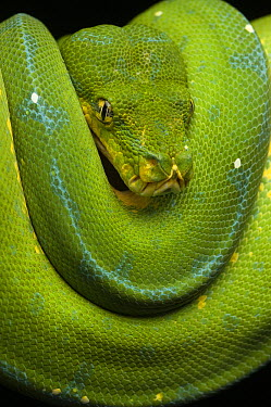 Green Tree Python (Morelia viridis), Jakarta, Indonesia  -  Ch'ien Lee