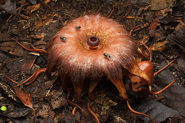 Rhizanthes (Rhizanthes lowii) flower mimics the smell of a rotting carcass to attract carrion flies which swarm around it to lay their eggs, Malaysia  -  Ch'ien Lee