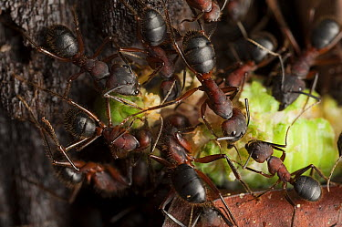 Carpenter Ant (Camponotus sp) group tearing apart a cicada in the rainforest, Gunung Mulu National Park, Sarawak, Malaysia  -  Ch'ien Lee