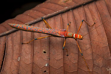 Stick Insect (Calvisia sp), Borneo, Malaysia  -  Ch'ien Lee