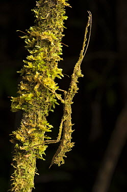 Stick Insect (Phenacephorus sp) mimicking a moss-covered branch, Borneo, Malaysia  -  Ch'ien Lee