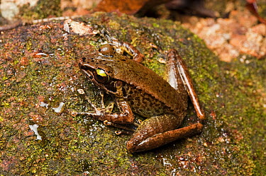 True Frog (Meristogenys whiteheadi), Hose Mountains, Borneo, Malaysia  -  Ch'ien Lee