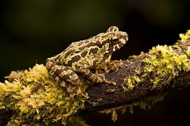 Marbled Tree Toad (Pedostibes rugosus) camouflaged on branch, Hose Mountains, Borneo, Malaysia  -  Ch'ien Lee