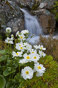 Great Mountain Buttercup (Ranunculus lyallii) flowering beside upper Whitcombe River, Canterbury, New Zealand  -  Colin Monteath/ Hedgehog House