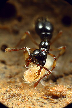 Ant (Thaumatomyrmex sp) worker using her long-toothed mandibles to hold her bristly millipede prey while she strips off its hairs before eating, Tiputini, Ecuador  -  Mark Moffett