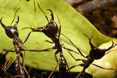 Driver Ant (Dorylus nigricans) trail guards in defensive position, Ghana  -  Mark Moffett