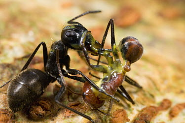 Carpenter Ant (Camponotus cylindricus) has ruptured her body to spew a sticky yellow glue, which has killed both her and the larger worker of another Carpenter Ant (Camponotus sp), Brunei, Borneo, Mal...  -  Mark Moffett