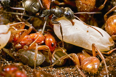 Amazon Ant (Polyergus sp) group returning to their home nest at the conclusion of a slave raid, grey slave ant carries one of their pupa, near Lake Tahoe, California  -  Mark Moffett