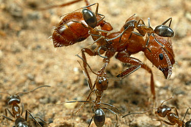 Ant (Dorymyrmex sp) workers climbing on a larger Harvester Ant (Pogonomyrmex maricopa) to lick her body clean, Portal, Arizona  -  Mark Moffett