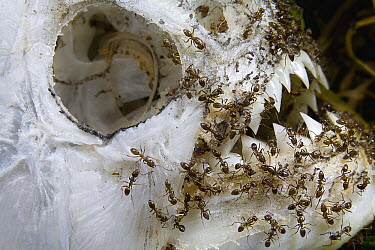 Argentine Ant (Linepithema humile) group eating a piranha on the banks of the Parana River, northern Argentina  -  Mark Moffett
