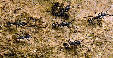 Rove Beetle (Staphylinidae) mimics Ant (Neivamyrmex sp) workers to beg for food or prey from the ants, Tiputini, Ecuador  -  Mark Moffett