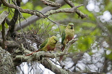 Austral Parakeet (Enicognathus ferrugineus) courting pair in Southern Beech (Nothofagus sp) forest, Ushuaia, Tierra del Fuego, Argentina  -  Tui De Roy