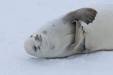 Crabeater Seal (Lobodon carcinophagus) scratching itself on fast ice, Admiralty Sound, Weddell Sea, Antarctica  -  Tui De Roy
