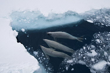 Crabeater Seal (Lobodon carcinophagus) trio surfacing to breathe through fast ice lead, Admiralty Sound, Weddell Sea, Antarctica  -  Tui De Roy