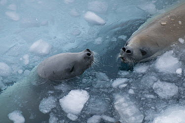 Crabeater Seal (Lobodon carcinophagus) pair surfacing to breathe through brash ice, Admiralty Sound, Weddell Sea, Antarctica  -  Tui De Roy