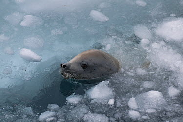 Crabeater Seal (Lobodon carcinophagus) surfacing to breathe through brash ice, Admiralty Sound, Weddell Sea, Antarctica  -  Tui De Roy