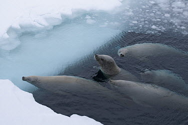Crabeater Seal (Lobodon carcinophagus) group surfacing to breathe through brash ice, Admiralty Sound, Weddell Sea, Antarctica  -  Tui De Roy