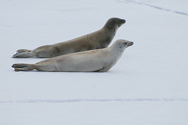 Crabeater Seal (Lobodon carcinophagus) pair resting on fast ice, Admiralty Sound, Weddell Sea, Antarctica  -  Tui De Roy