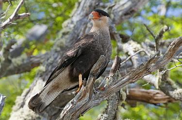 Southern Caracara (Caracara plancus), Beagle Channel, Tierra del Fuego, Argentina  -  Tui De Roy