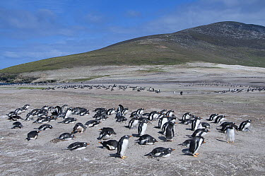 Gentoo Penguin (Pygoscelis papua) nesting colony on windswept sand dunes, Saunders Island, Falkland Islands  -  Tui De Roy