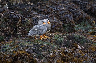 Flightless Steamerduck (Tachyeres pteneres) pair on shore, Beagle Channel, Tierra del Fuego, Argentina  -  Tui De Roy