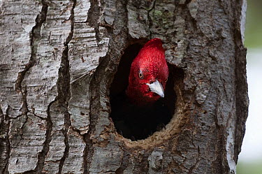 Magellanic Woodpecker (Campephilus magellanicus) male at nest entrance, in Southern Beech (Nothofagus sp), Tierra del Fuego National Park, Argentina  -  Tui De Roy