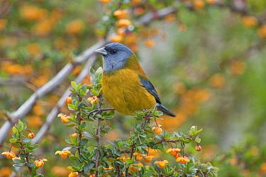 Patagonian Sierra-Finch (Phrygilus patagonicus), Ushuaia, Tierra del Fuego, Argentina  -  Tui De Roy