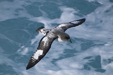Pintado Petrel (Daption capense) flying, Drake Passage, Antarctica  -  Tui De Roy