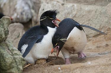 Rockhopper Penguin (Eudyptes chrysocome) pair exchanging incubation duties, New Island, Falkland Islands  -  Tui De Roy