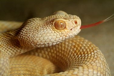 Western Diamondback Rattlesnake (Crotalus atrox) albino smelling the air with his tongue, native to North America  -  Albert Lleal