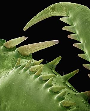 Mediterranean Mantis (Iris oratoria) detail of spines on front legs at 14x magnification, Spain  -  Albert Lleal