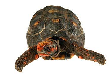 Red-footed Tortoise (Geochelone carbonaria), native to South America  -  Albert Lleal