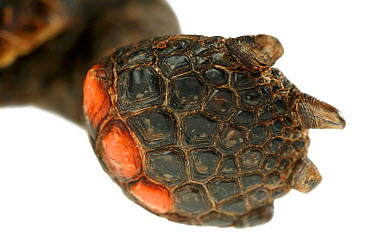 Red-footed Tortoise (Geochelone carbonaria) foot, native to South America  -  Albert Lleal