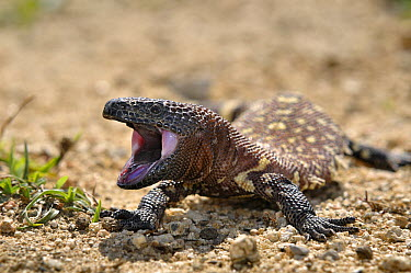 Gila Monster (Heloderma suspectum) young in threatening pose, native to south west United states and northern Mexico  -  Albert Lleal