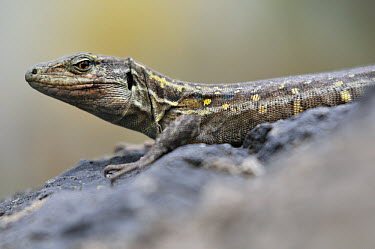 Gallot's Lizard (Gallotia galloti) female, endemic to north of the island of Tenerife, Canary Islands, Spain  -  Albert Lleal