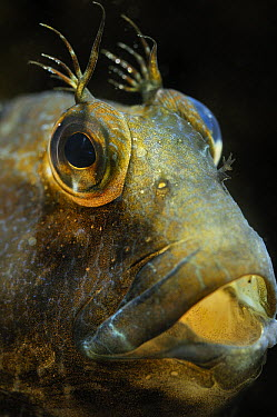 Ringneck Blenny (Parablennius pilicornis) male with characteristic protrusions branched over each eye, Barcelona, Spain  -  Albert Lleal