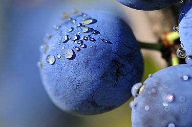 Blackthorn (Prunus spinosa) fruit covered with water droplets, Spain  -  Albert Lleal