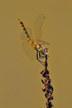 Red-veined Darter (Sympetrum fonscolombii) dragonfly female, Spain  -  Albert Lleal