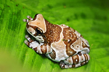 Amazon Milk Frog (Trachycephalus resinifictrix) on leaf, South America  -  Albert Lleal