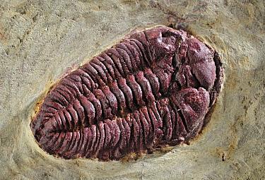 Trilobite fossil, Spain  -  Albert Lleal